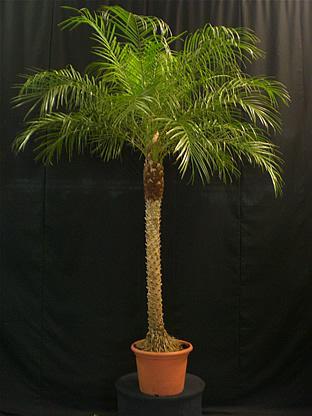 02.010 - Phoenix Roebelenii palm ca. 220/240 cm
