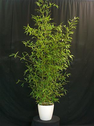 03.006 Bamboe ca. 225 cm