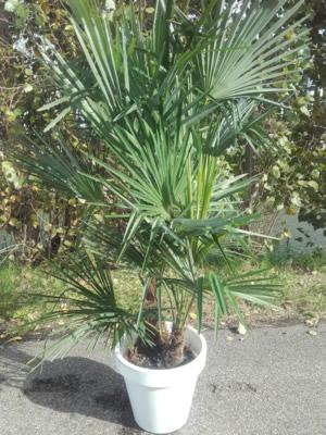 02.016 - Trachycarpus palm ca. 150 cm