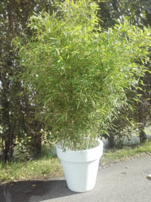 03.007 Bamboe Event groot ca. 250 cm (3 Bamboe per bak)