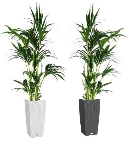 01.003 - Kentia palm ca. 200 cm in sierpot (Uitsluitend binnengebruik!)