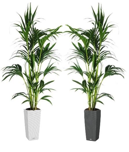 01.004 - Kentia palm ca. 230 cm in sierpot (Uitsluitend binnengebruik!)