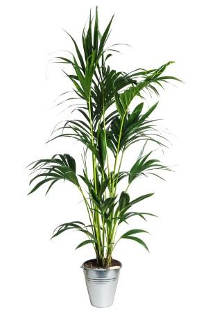 01.002 - Kentia palm ca. 200 cm standaard (Uitsluitend binnengebruik!)