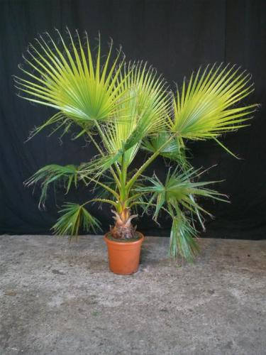 02.001 - Washingtonia palm ca. 175 cm