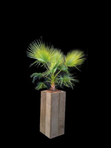 02.002 - Washingtonia palm in steigerhouten zuil (totaal ca. 275 cm)