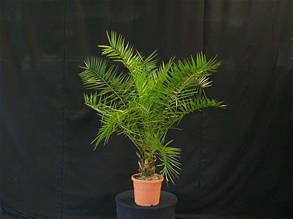 02.003 - Phoenix Canariënsis palm ca. 150 cm