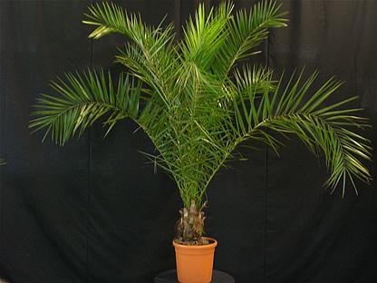 02.004 - Phoenix Canariënsis palm ca. 175 cm