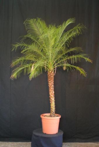 02.009 - Phoenix Roebelenii palm ca. 180/200 cm