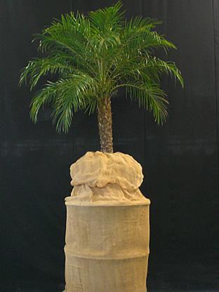 02.012 - Phoenix Roebelenii palm op jutte blok (totaal ca. 240 cm)