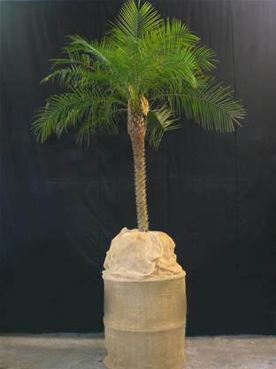 02.013 - Phoenix Roebelenii palm op jutte blok (totaal ca. 300 cm)