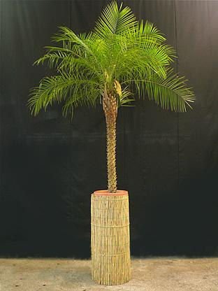 02.014 - Phoenix Roebelenii palm in rieten zuil (totaal ca. 300 cm)
