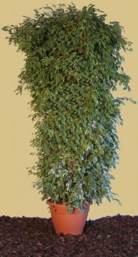 03.003 - Ficus bont ca. 270 cm